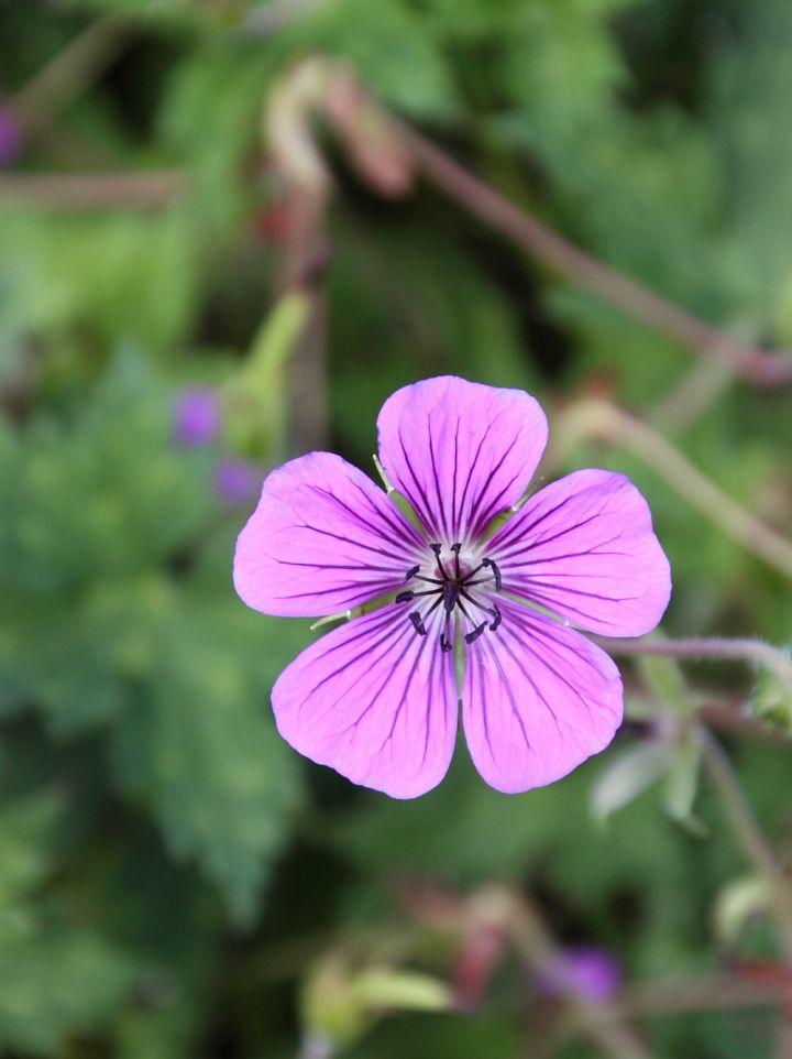 Geranium 'Pink Penny' - Ooievaarsbek