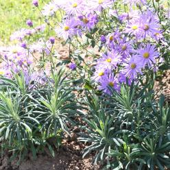 Euphorbia characias subsp. wulfenii 'Shortii' - Wolfsmelk