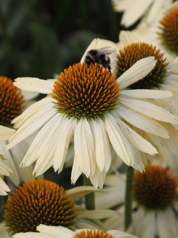 Echinacea 'Sombrero Sandy Yellow' - Zonnehoed