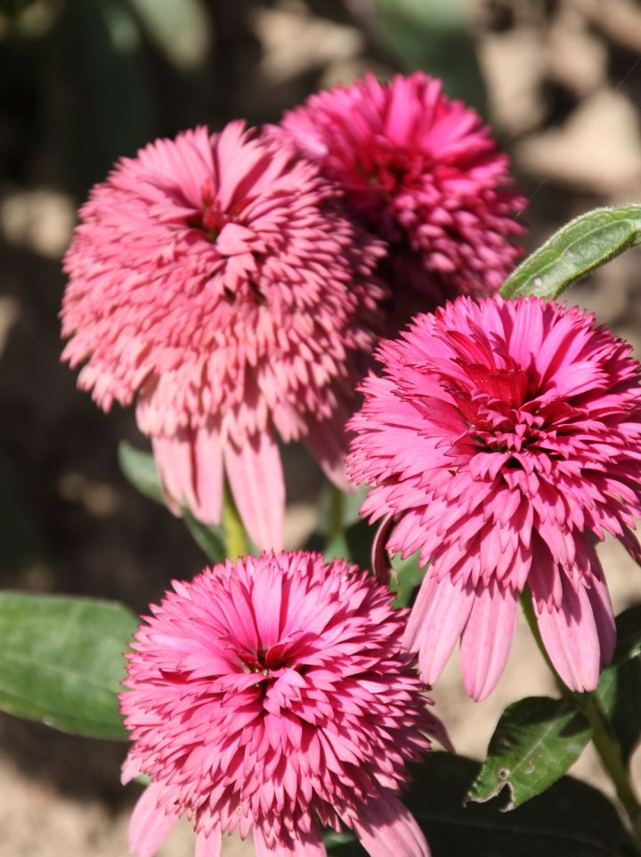Echinacea 'Piccolino' - Zonnehoed
