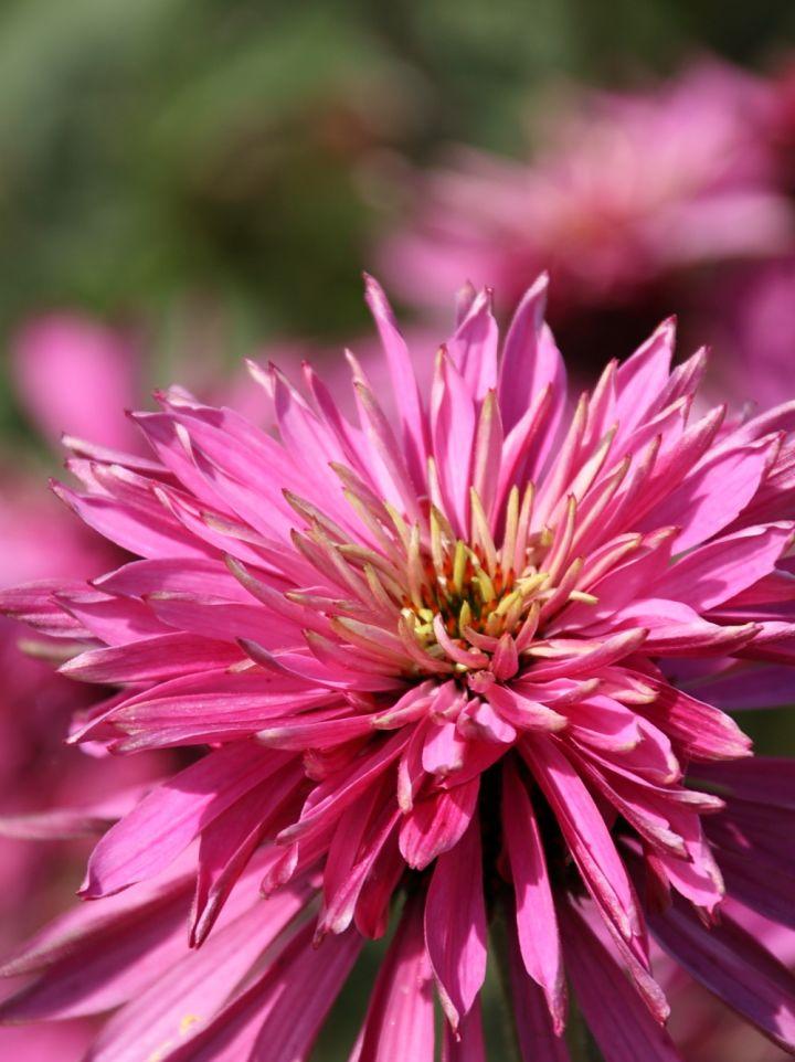 Echinacea 'Red Baron' -Zonnehoed