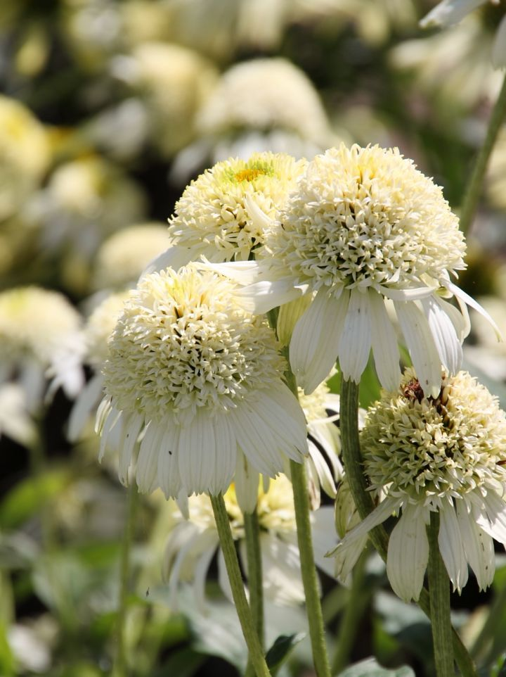 Echinacea 'White Double Delight' - Zonnehoed