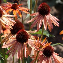 Echinacea 'Orange Passion' - Zonnehoed