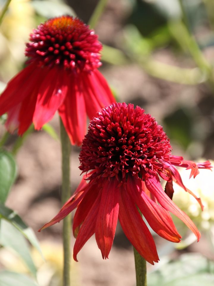 Echinacea 'Eccentric' - Zonnehoed