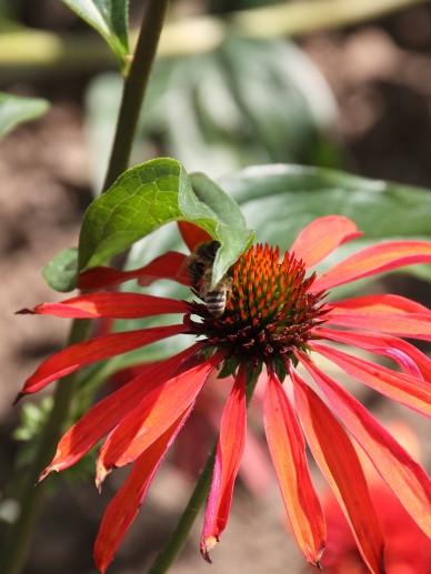 Echinacea 'Summer Sun' - Zonnehoed