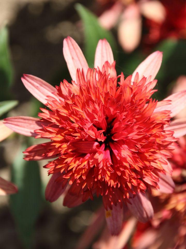 Echinacea 'Irresistable' - Zonnehoed