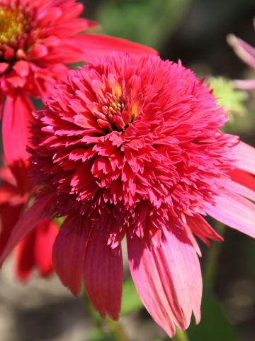 Echinacea 'Double Scoop Raspberry' - Zonnehoed