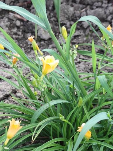 Hemerocallis 'Longfields Kitten' - Daglelie