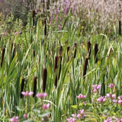 Typha latifolia - Grote lisdodde