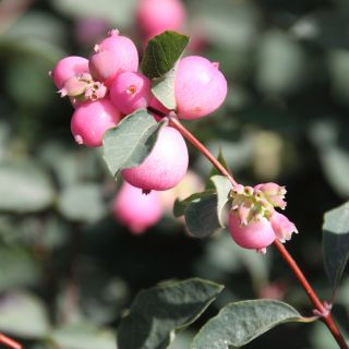 Symphoricarpos doorenbosii 'Magic Berry' (Sneeuwbes, Klapbes)