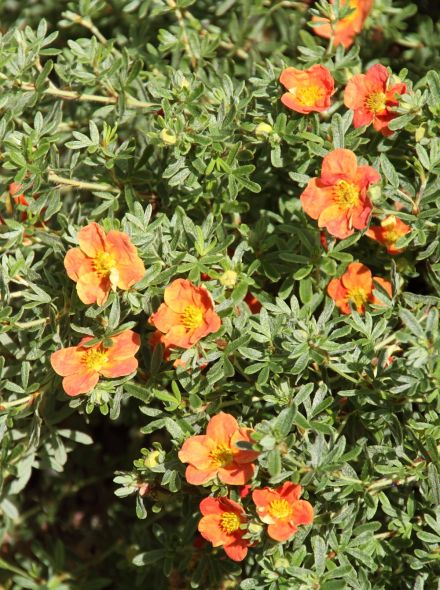 Potentilla fruticosa 'Red Ace' (Ganzerik of vijfvingerkruid)