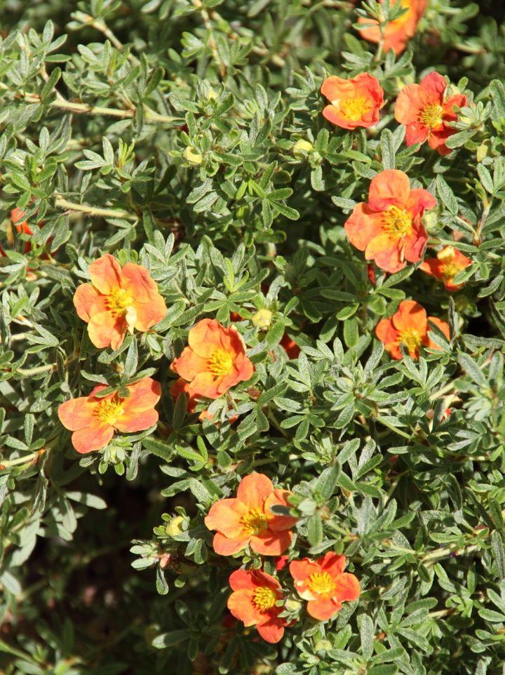 Potentilla fruticosa 'Orangeade' - Ganzerik