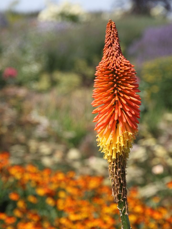Kniphofia 'Earliest of All' - Vuurpijl, fakkellelie