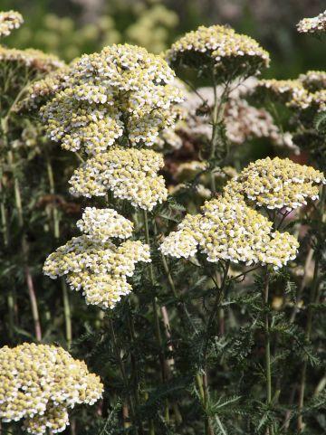 Achillea millefolium 'Hoffnung' - Duizendblad