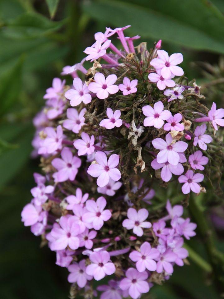 Phlox paniculata 'David's Lavender' -  Floks, vlambloem