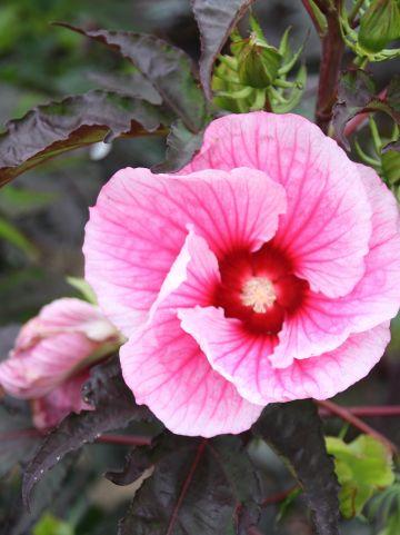 Hibiscus 'Summer Storm' - Altheastruik