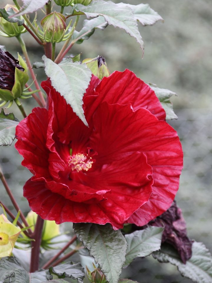 Hibiscus 'Cranberry Crush' - Altheastruik