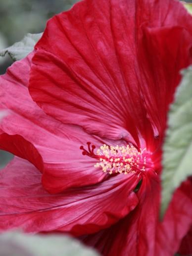 Hibiscus 'Cranberry Crush' - Altheastruik