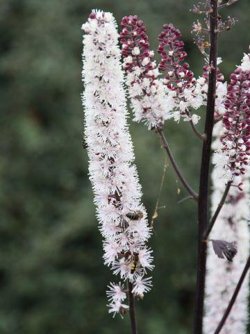 Cimicifuga simplex 'Carbonella' - (Donkerbladige) Zilverkaars