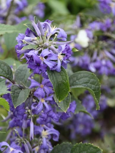 Clematis heracleifolia 'Cassandra' - Struikclematis