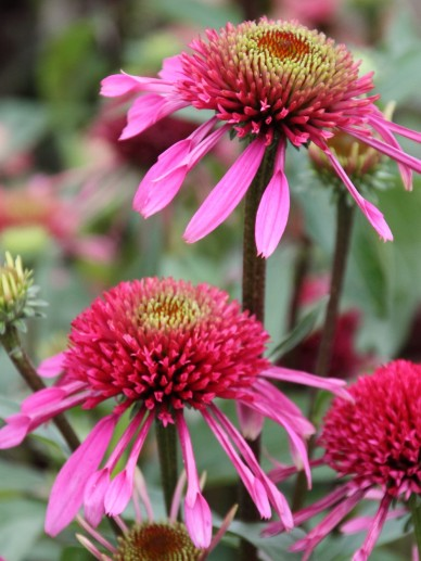 Echinacea 'Double Scoop Bubblegum' - Zonnehoed