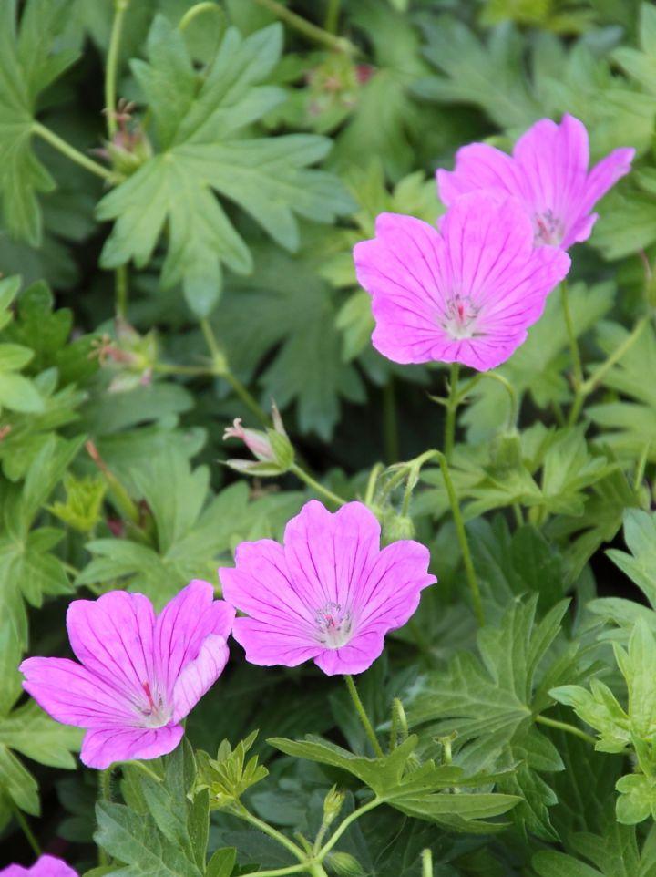 Geranium sanguineum 'Deux Fleurs'  - Ooievaarsbek