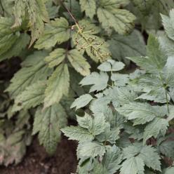Actaea pachypoda 'Misty Blue' - Christoffelkruid