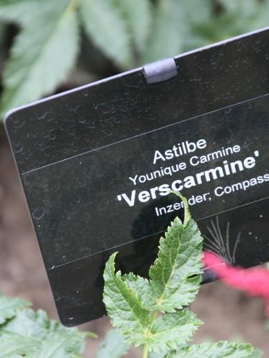 Astilbe Younique Carmine 'Verscarmine' - Pluimspirea, prachtspirea