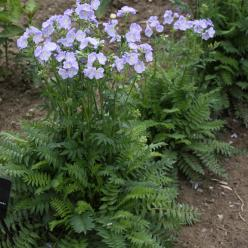 Polemonium 'Northern Lights' - Jacobsladder