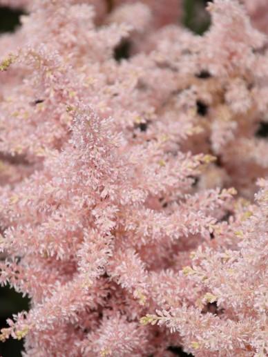 Astilbe 'Peach Blossom' - Pluimspirea, prachtspirea