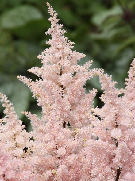 Astilbe 'Peach Blossom' (Pluimspirea, prachtspirea)