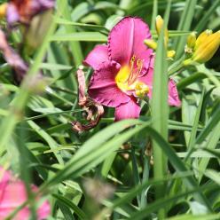 Hemerocallis 'Olive Bailey Langdon' - Daglelie