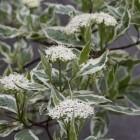 Cornus alba 'Elegantissima' - C 6,5 (Witte kornoelje, Bontbladige kornoelje)