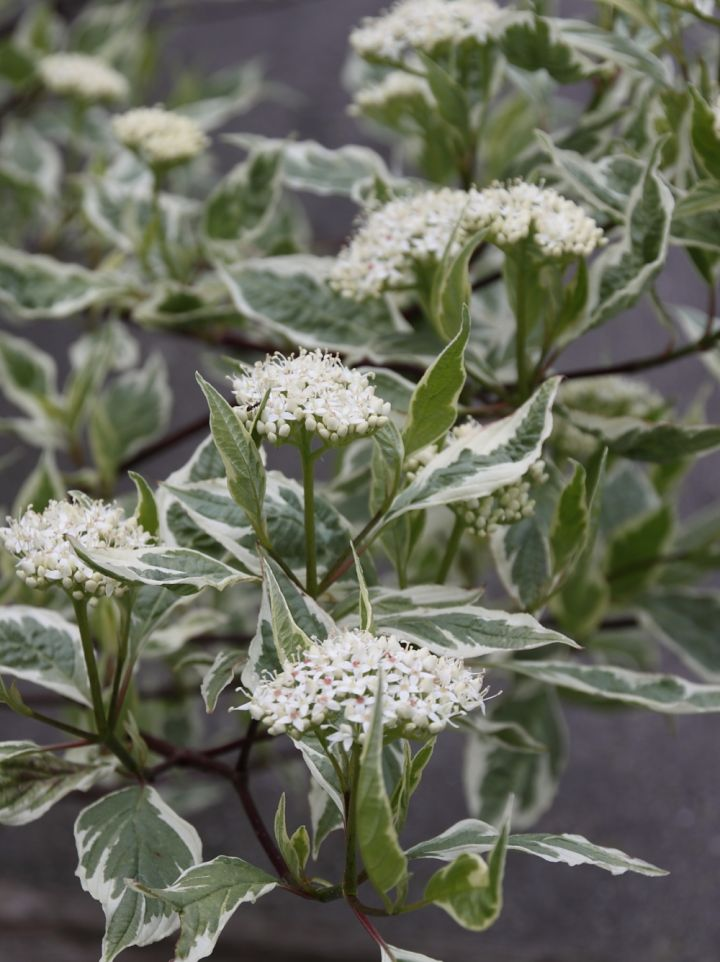 Cornus alba 'Sibirica Variegata' - Bonte kornoelje