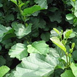Alnus glutinosa - Zwarte els
