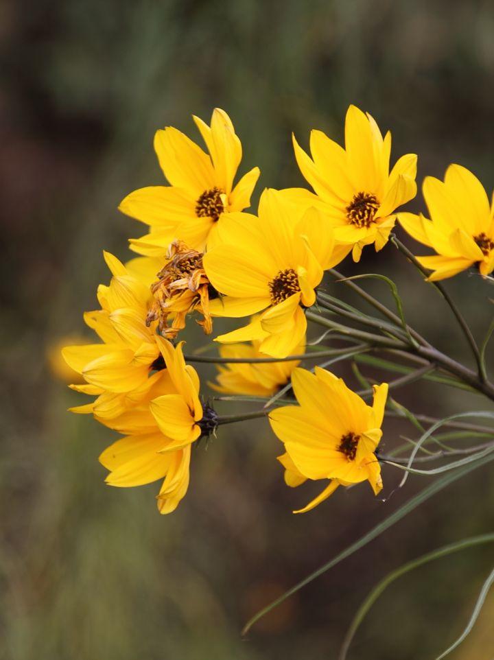 Helianthus salicifolius - (Wilgenblad) zonnebloem