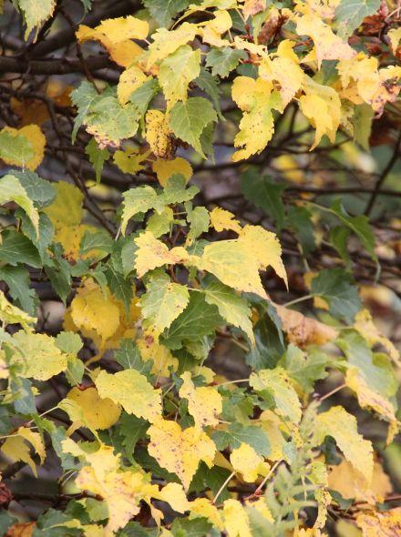 Winterlinde (Tilia cordata, bosplantsoen)