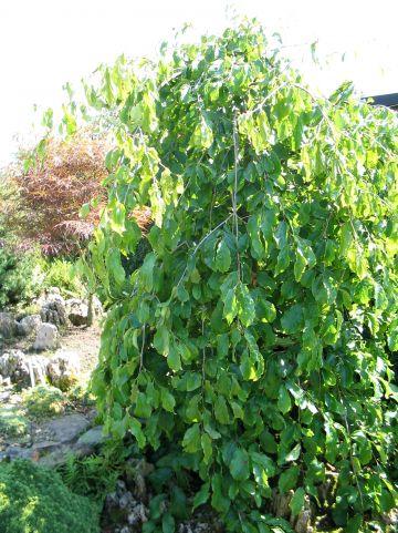 Parrotia persica 'Pendula' - Perzisch IJzerhout (treurvorm)