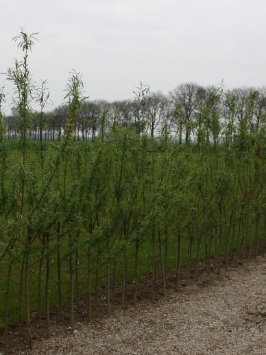 Salix purpurea 'Nana' - Bittere wilg