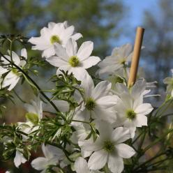 Clematis 'Early Sensation' - Bosdruif, bosrank