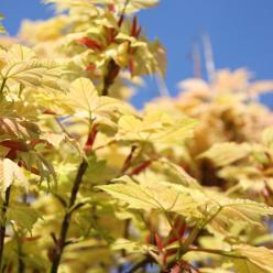 Acer pseudoplatanus 'Brilliantissimum' - Bonte bolesdoorn