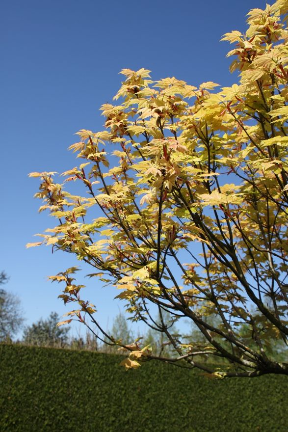 Acer pseudoplatanus 'Brilliantissimum' (Bonte bolesdoorn)