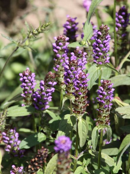 Prunella vulgaris (Gewone brunel, bijenkorfje)