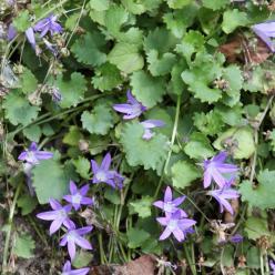 Campanula portenschlagiana - Klokjesbloem