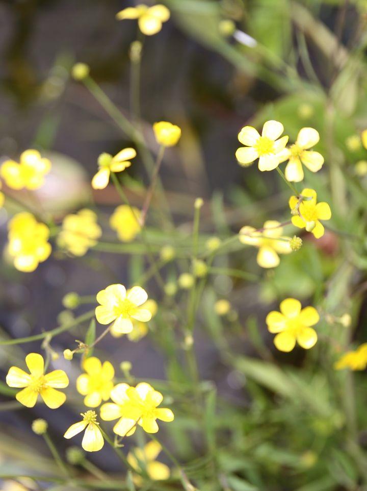 Ranunculus flammula - Egelboterbloem