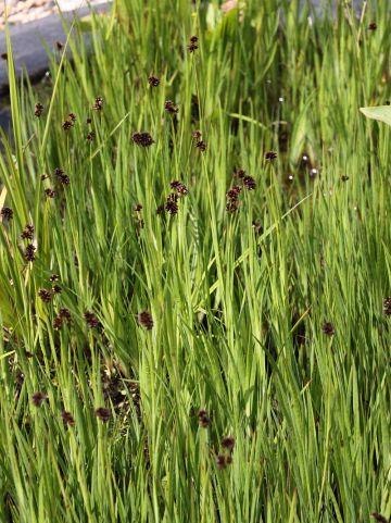 Juncus ensifolius - Zwaardrus