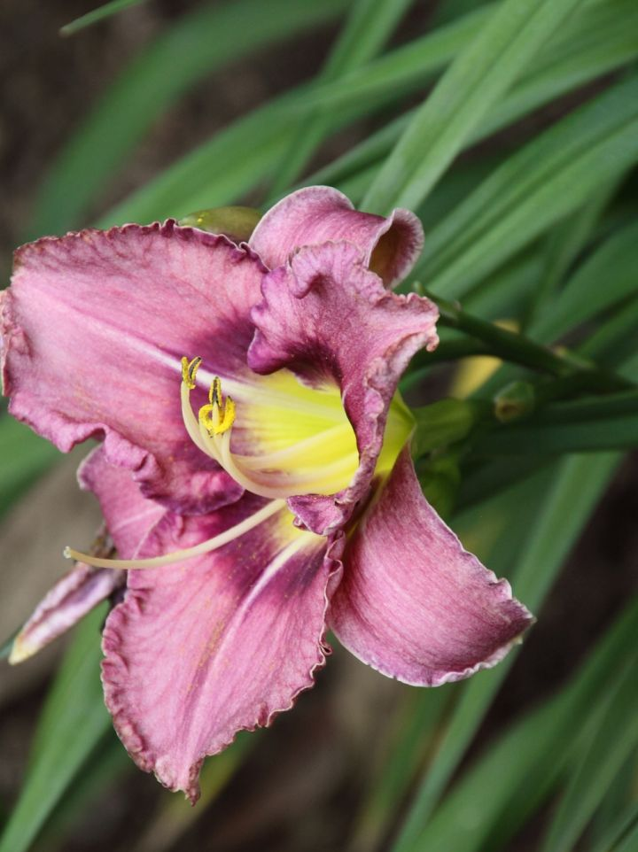 Hemerocallis 'Sherry Fair' - Daglelie