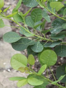 Cotinus coggygria (Pruikenboom)
