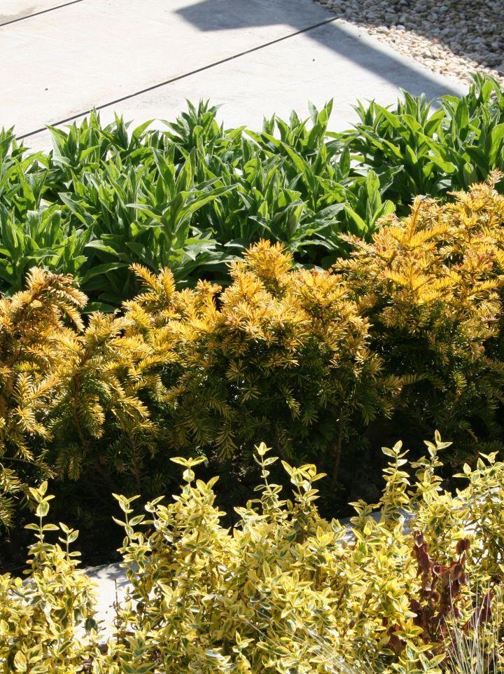 Taxus baccata 'Semperaurea' - (Gele) venijnboom