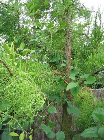 Taxodium distichum 'Nutans' - Moerascypres